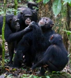 Schimpansen bei Teilen von Nahrung (Foto: Liran Samuni, Taï Chimpanzee Project)